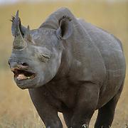 Black Rhinoceros (Diceros bicornis) yawning in Masai Mara National Reserve. Kenya, Africa