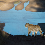 Leopard (Panthera pardus) hunting along the banks of the Sand River, Mala Mala Game Reserve, South Africa.