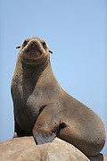 Cape fur seal (Arctocephalus pusillus pusillus) Tsau-ǁKhaeb-(Sperrgebiet)-Nationalpark, Namibia | Kap-Pelzrobbe (Arctocephalus pusillus pusillus), auch Südafrikanischer Seebär genannt. Sperrgebiet National Park, Namibia
