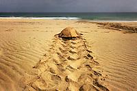 08/Septiembre/2014 Cabo Verde. Boa Vista<br /> Rastro de una hembra de tortuga Carettha carettha en su vuelta al mar después de haber desovado en la playa de Joao Barrosa.<br /> <br /> © JOAN COSTA
