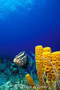 Nassau grouper,<br /> Epinephelus striatus, <br /> Little Cayman Island ( Caribbean Sea )