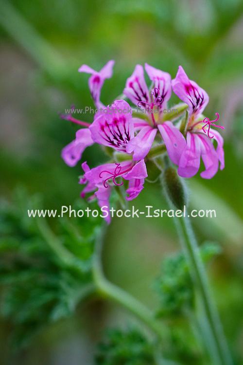 Flowering pink geranium artistic soft focus