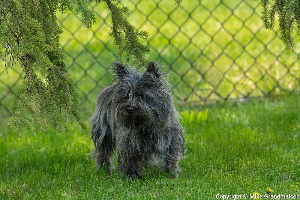 Cairn terrier (1 year old female purebred)<br />Winnipeg<br />Manitoba<br />Canada