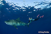 Stefanie Brendl swims with a tiger shark, Galeocerdo cuvier, North Shore, Oahu, Hawaii, USA ( Central Pacific Ocean ) MR 389