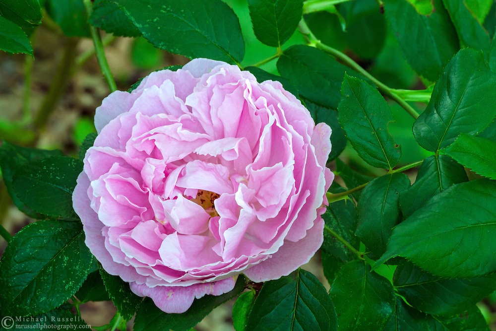 """'Mary Rose' - a """"David Austin Rose"""" flowering during the spring in a backyard rose garden"""