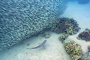 sandbar shark, Carcharhinus plumbeus, swimming around a school of akule or bigeye scad, Selar crumenophthalmus, Keauhou Bay, South Kona, Hawaii (the Big Island),  United States ( Central North Pacific Ocean )