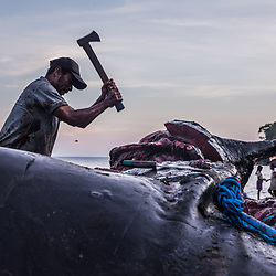 """Butchery - Whale Sharing - almost 2 full days of work<br /> <br /> The sperm whale has been landed at Lamalera's beach. It requires over a dozen men to tie up this weighty gift from """"Ina Leva"""". Whilst the clan is waiting for low tide, they will ostentatiously sharpen their knives. Participating crew members will be rewarded with a share based on their role; The decision of which party will get what whale part comes from the boat maker of the traditional paledang – the """"Ata Molan"""". He will routinely point at parts and explain how these have to be cut. Normally the cuts will be divided along strict sharing rules. Some might trade their share in nearby villages. Although an unwritten law says; you exchange whale flesh only for other foods, but never money – a few Lamalerans might sell their share to other villagers to eventually pay some bills. The whalers carve away blubber and dissect the whale to its very bits. And in all this raging tumult of blood and knifes the kids find ample of opportunities to play if not already busy washing the cuts. Childish laughing, they build small dams of sand to block the bloodstreams. All part have their own benefit and purpose. Whereas some exotic parts like a whale penis can only be used for viagra-like Chinese Medicine, the blubber (whale speck) and all innards are of greater use. Tough a whale's blubber is very thin, some of these whales will yield you upwards of thirty gallons of oil. The major part of the oil flows out of the head, and another fair portion will be rubbed out of the blubber by the families. Thus, the most useful part of the whale is its highly inflammable oil, which serves as fire kick-starter and old-fashioned lamp oil, sometimes as cooking oil, and even as nutrition for children (a rich source of omega-3 fatty acids). The most essential part for the Lamalerans is obviously the whale meat, which in sundried slices will help many families to survive the upcoming days."""