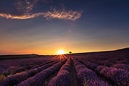 Violet lavender furrows ending by a tree on a hill
