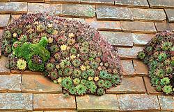 Houseleeks ( Sempervivum ) growing on a barn roof at Great Dixter