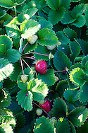 Meriwether's Restaurant is  one of the few restaurants operating their own 5 acre vegetable farm on Skyline Blvd. in NW Portland.  Throughout the 2009 harvest, the restaurant has served over 8000 pounds of Skyline Farm produce.  Fresh strawberries still growing in early October.