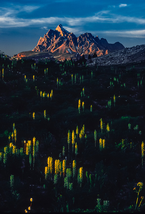 Grand Teton Peak, pedacularis wildflowers, evening light, Teton Divide trail, Grand Teton National Park, Wyoming, USA