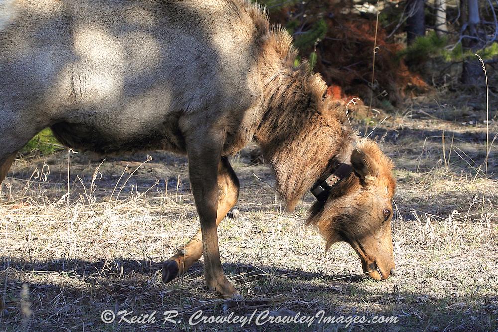 Cow elk wearing a radio telemetry collar.