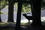A red deer stag in silhouette throws back its head to bellow in woodland shortly after sunrise during the rutting season on 17 September 2020 in Windsor, United Kingdom. The deer park enclosure in Windsor Great Park is home to a herd of around 500 red deer descended from forty hinds and two stags introduced in 1979 by the Duke of Edinburgh.
