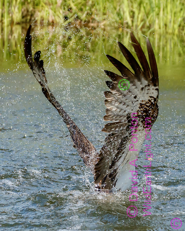 Water sprays from osprey wingS as its starts up from pond with powerful wings, David A. Ponton