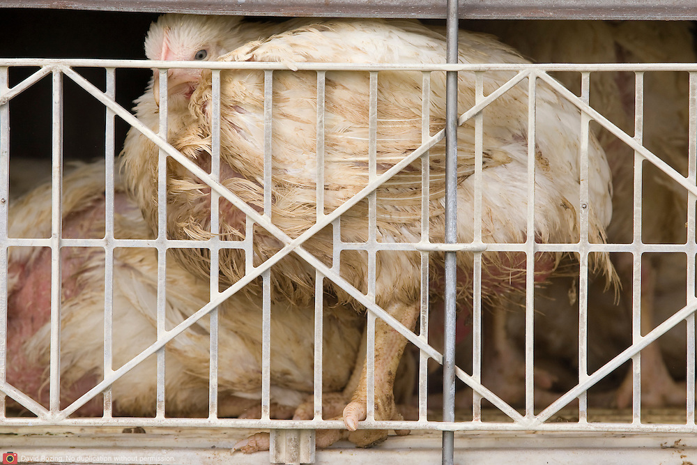Nederland Arnhem 1 april 2008 20080401 Foto: David Rozing .Vleeskippen op transport naar slachthuis in Doetinchem zitten massaal op elkaar gestapeld in (propvolle) kratten in aanhangwagen van vrachtwagen op de parkerplaats op de a325 . Ivm de file had de chauffeur het zeil omhoog getrokken, omdat het anders te warm zou worden voor de kippen. Volgens de chauffeeur mag er volgens de wet per la 85 kilo aan vlees in, bij dit transport zaten er ongeveer 36 kippen per la, 2,3 kilo per stuk. Naar eigen zeggen staat dit bedrijf bekend om de grote hoeveelheid bewegingsruimte het geeft aan de kippen tijdens het transport. Omdat de lades niet dicht zijn aan de boven en onderkant poepen de kippen elkaar constant onder.  .Er zijn regels gesteld aan het vervoeren van dieren. Iemand die dieren wil vervoeren heeft een erkenning (een soort vergunning) nodig van de minister van LNV. Daarnaast moeten de dieren voldoende ruimte hebben tijdens het vervoer en goed worden verzorgd..De Europese Landbouwraad heeft eind 2004 een politiek akkoord bereikt over diertransport (Verordening 1/2005 van de EU). In de verordening zijn onder meer regels opgenomen voor handhavings- en controlemogelijkheden (satellietnavigatiesysteem) en worden strenge eisen gesteld aan de opleiding en de autorisatie van transporteurs (certificering). De verordening geeft verder een duidelijke verantwoordelijkheidsverdeling bij het transport waardoor een 'overtreder' beter kan worden aangewezen..Niet alleen de transporteur maar ook de chauffeur of opdrachtgever kan worden aangesproken op het niet naleven van eisen op het gebied van dierenwelzijn. De nieuwe verordening is met ingang van 5 januari 2007 van toepassing. Er zijn speciale regels voor het vervoer van zogenaamde wrakke (zieke of gewonde) dieren..Foto David Rozing