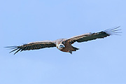 Griffon Vulture, (Gyps fulvus) in flight, Israel July