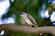 Noisy Mynah bird, Royal Botanical Gardens, Australia