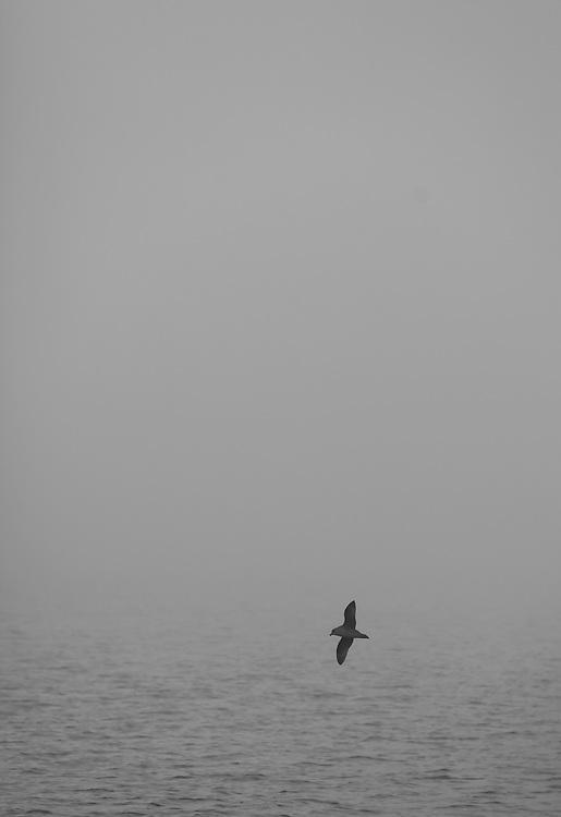 Fulmar (Fulmarus glacialis) gliding over ocean laden in sea fog, Svalbard, Norway.