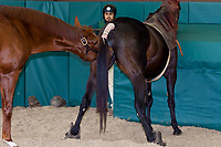 Breeding thoroughbreds (stallion is Distorted Humor and mare is Icelips), Winstar Farm (thoroughbred horse farm), Versailles (near Lexington), Kentucky USA