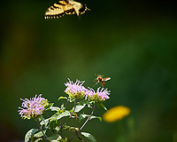 Wasp attacking Eastern Tiger Swallowtail butterfly sequence. Image taken with a Nikon Df camera and 300 mm f/4  lens