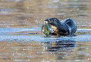 Otter with Bluegill