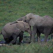 African Elephant, (Loxodonta africana)  Playing. Kenya. Africa.