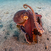 This sequence depicts a veined octopus (Amphioctopus marginatus) using a broken bottle as a portable shelter. The octopus was carrying a small crab that it had caught for a meal. Image 11 in a series of 15.