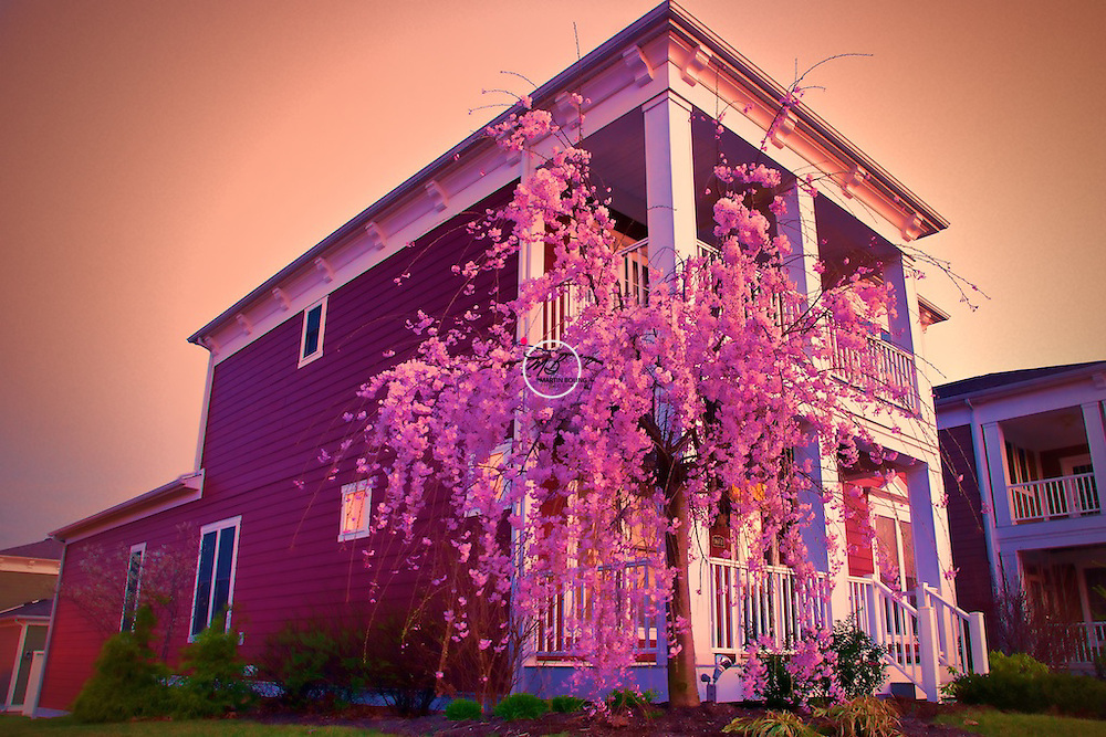 Pink Weeping Cherry Tree at Sunset