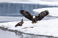 Bald Eagles (Haliaeetus leucocephalus) competing for salmon along the Chilkat River in the Chilkat River Bald Eagle Preserve in Southeast Alaska. Winter. Afternoon.