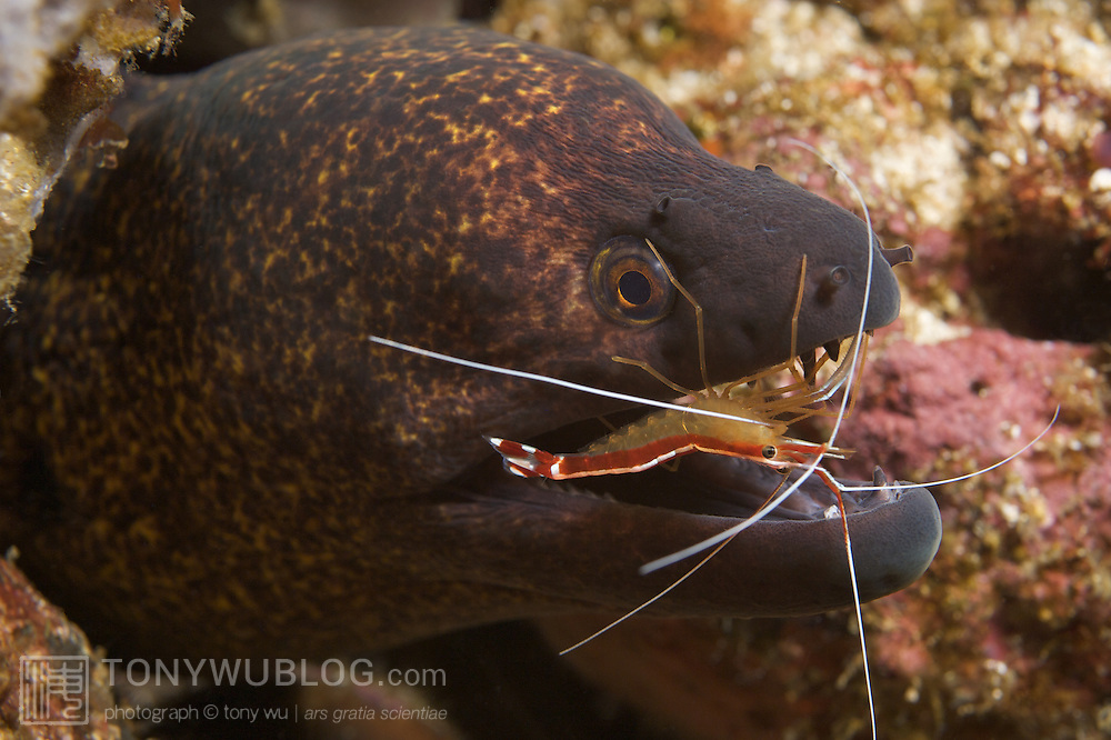 Giant moray eel (Gymnothorax javanicus) being cleaned by scarlet cleaner shrimp (Lysmata amboinensis). Ambon, Indonesia