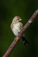 Male Redpoll perched on tree branch - Wirral - April