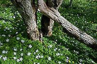 Yellow anemone (Anemone ranunculoides) , wood anemone (Anemone nemorosa), Matsalu Bay Nature Reserve, Estonia