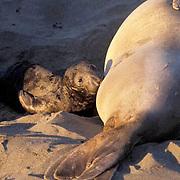 Northern Elephant Seal, (Mirounga angustirostris)  Newborn pup nursing from mother. California.