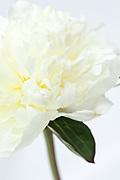 Paeonia lactiflora 'Duchesse de Nemours' - peony