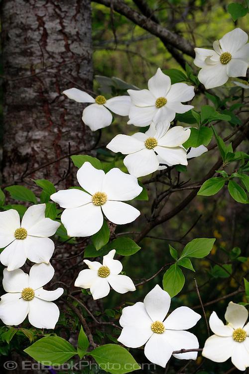 Pacific Dogwood flowers (Cornus nuttallii)
