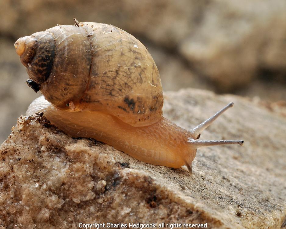 Rabdotus nigromontanus, black mountain rabdotus, snail found during a rain storm by John Palting. Madrean Archipelago Biodiversity Assessment (MABA) Project. Rancho Los Alisos, Sierra Aconchi