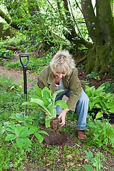 Carol Klein planting pot grown foxgloves in the woodland garden. Digitalis purpurea