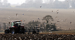 © Licensed to London News Pictures. 04/03/2013.Early Spring Sun Today (04.03.2013) in Kent..A farmer ploughing his field as birds feed in the early spring sun  off Crockenhill Lane, Near Eynsford, Kent..Photo credit : Grant Falvey/LNP