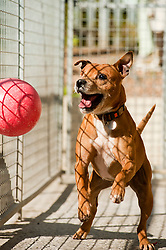 Frodo the happy Staffy has only one eye and is blind in his remaining eye chases a ball relying on his hearing and senses of smell to know where the toy is playing at the Rotherham Dog Rescue centre on Wednesday Morning.<br /> 121129<br /> <br /> 11 July 2012<br /> Image © Paul David Drabble
