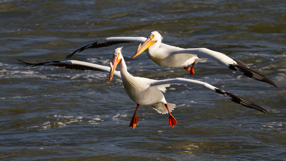 Two White Pelicans with yellow plate on their bills indicates they are breeding adults as they approach a landing in flight near CJ Strike Reservoir on the Snake River near Homedale, Idaho. The American White Pelican (Pelecanus erythrorhynchos) is a large aquatic bird from the order Pelecaniformes. It breeds in interior North America, moving south and to the coasts, as far as Central America, in winter. Licensing and Open Edition Prints
