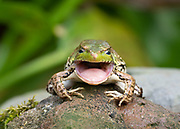 I was lucky to be at the right place with my camera as this Green Frog was busy swallowing.  Love the expression in the eyes.