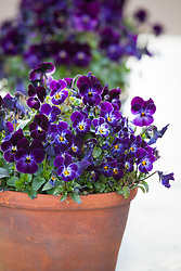 Viola Sorbet Phantom in a terracotta pot