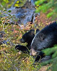 Black Bear, Grand Teton National Park