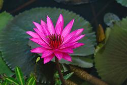 Water Lily, magenta #7,horiz