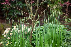 Emerging shoots of Nectaroscordum siculum - Sicilian honey garlic - with Narcissus 'Mary Copeland' in the woodland garden