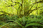 Vine maple and ferns in the Hoh Rain Forest, Olympic National Park, near Forks, Washington