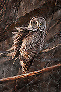 Great Gray Owl with wind blown feathers, watching for his evening meals.