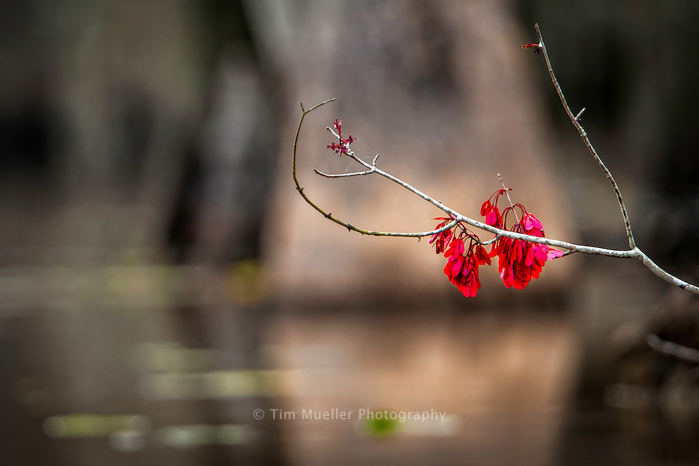 The Swamp Maple is a first sign of spring. The red pictured is not the flower of the tree but its seeds that will dry and fall.