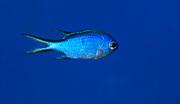 A Blue chromis (Chromis cyaneae) swimming in an aquarium at King's Lynn Koi Centre Norfolk. captive