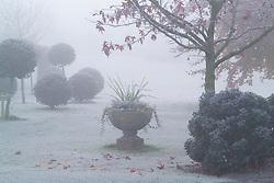 Frosty morning in John Massey's garden. Standard topiary balls of holly - Ilex aquifolium 'Siberia'. Stone urn